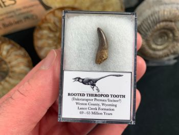 Possible Rooted Dakotaraptor Premax Tooth