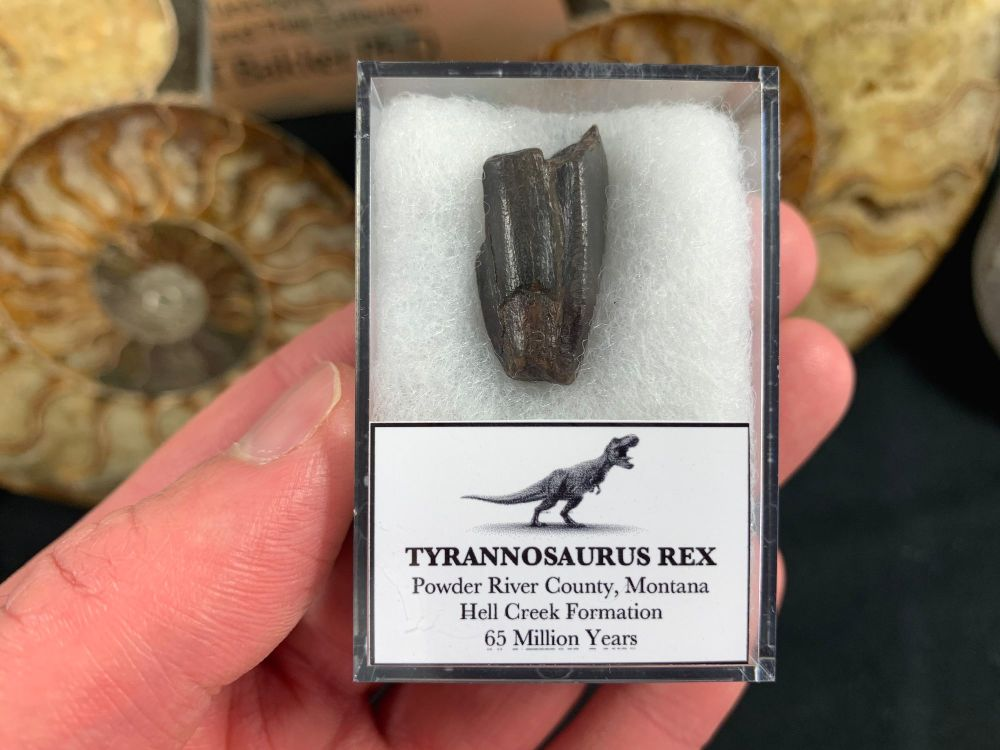 Cretaceous Hell Creek crocodile fish reptile dinosaur tooth jaw fossil sample