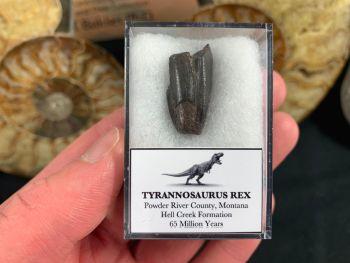 Tyrannosaurus Rex Premax Tooth #01
