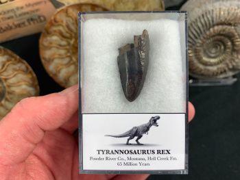 Tyrannosaurus Rex Premax Tooth #02