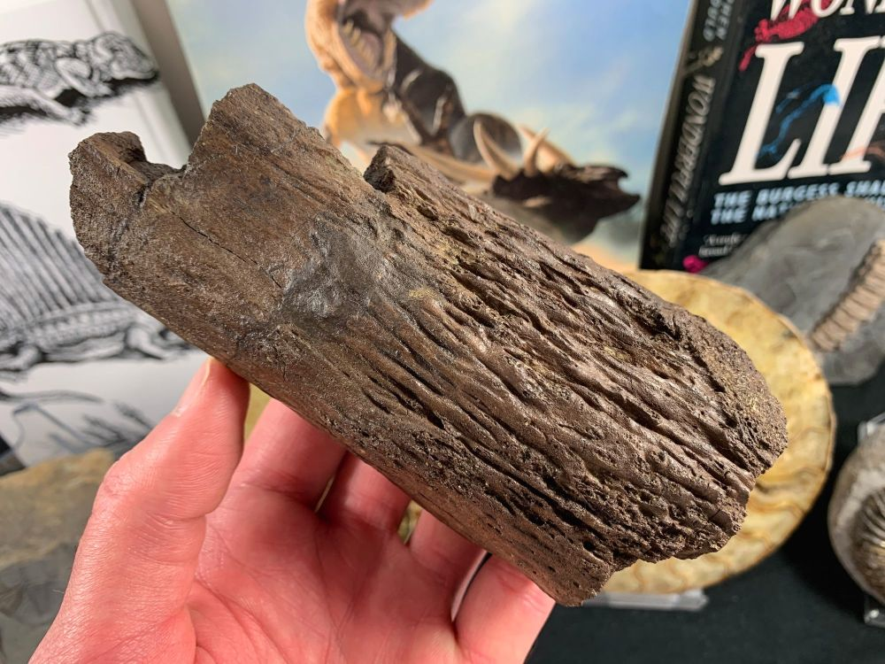 Triceratops Brow Horn