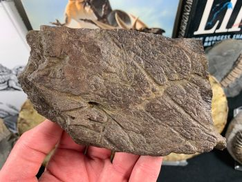 Large Triceratops Frill #02
