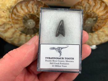 Tyrannosaur Premax Tooth (Hell Creek) #04