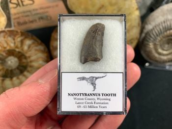 Nanotyrannus Tooth #34