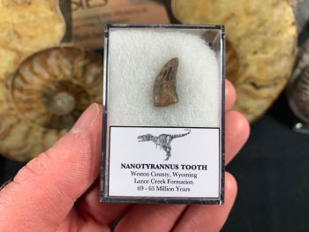 Nanotyrannus Tooth #35