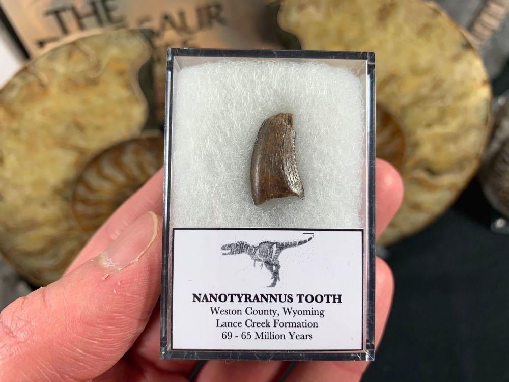 Nanotyrannus Tooth #36
