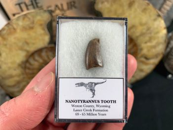 Nanotyrannus Tooth #36