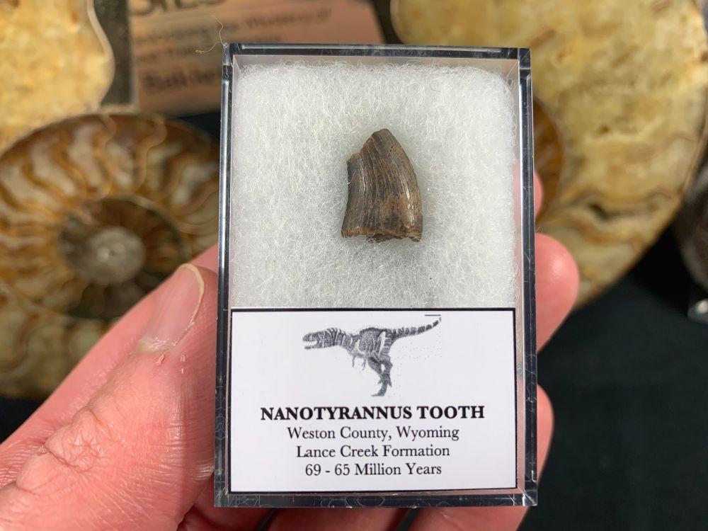 Nanotyrannus Tooth #38