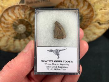 Nanotyrannus Tooth #39