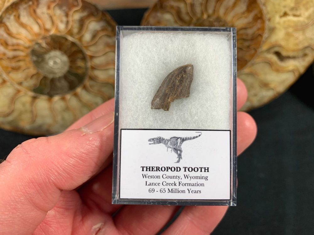 Theropod Dinosaur Tooth (Lance Creek) #03