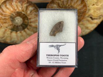 Theropod Dinosaur Tooth (Lance Creek) #03