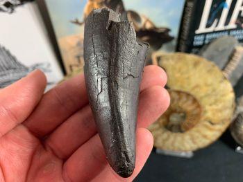 "3.25"" Tyrannosaurus Rex Tooth"