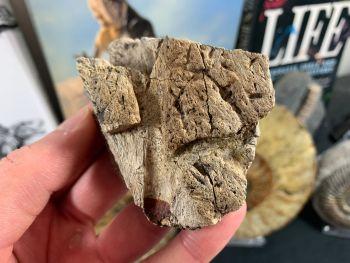 Triceratops Frill #03
