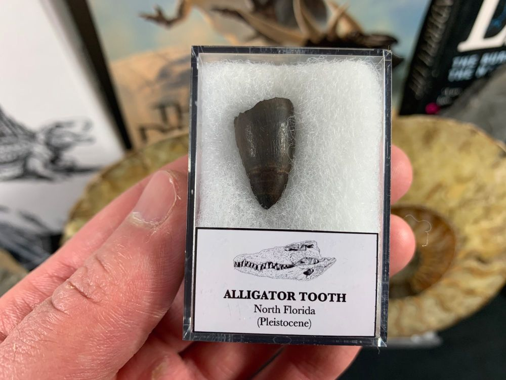 Alligator tooth, Florida #03