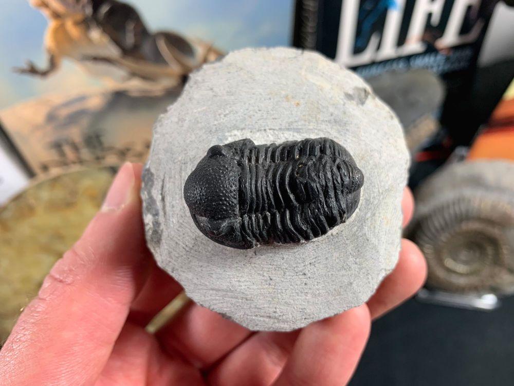 Gerastos Trilobite #01