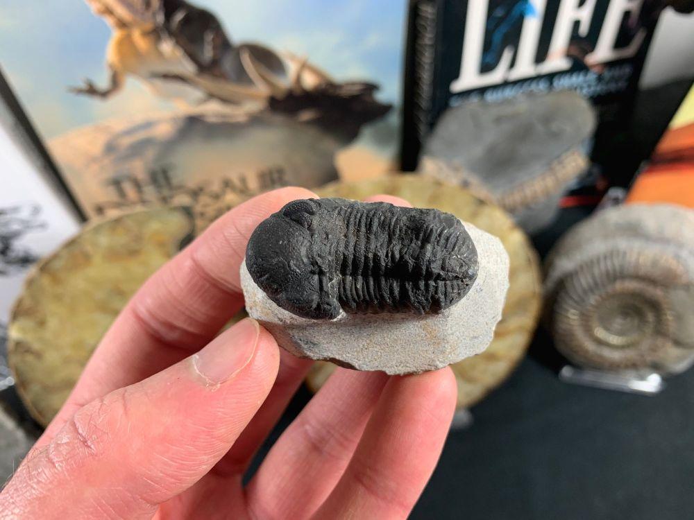 Phacops Trilobite #01