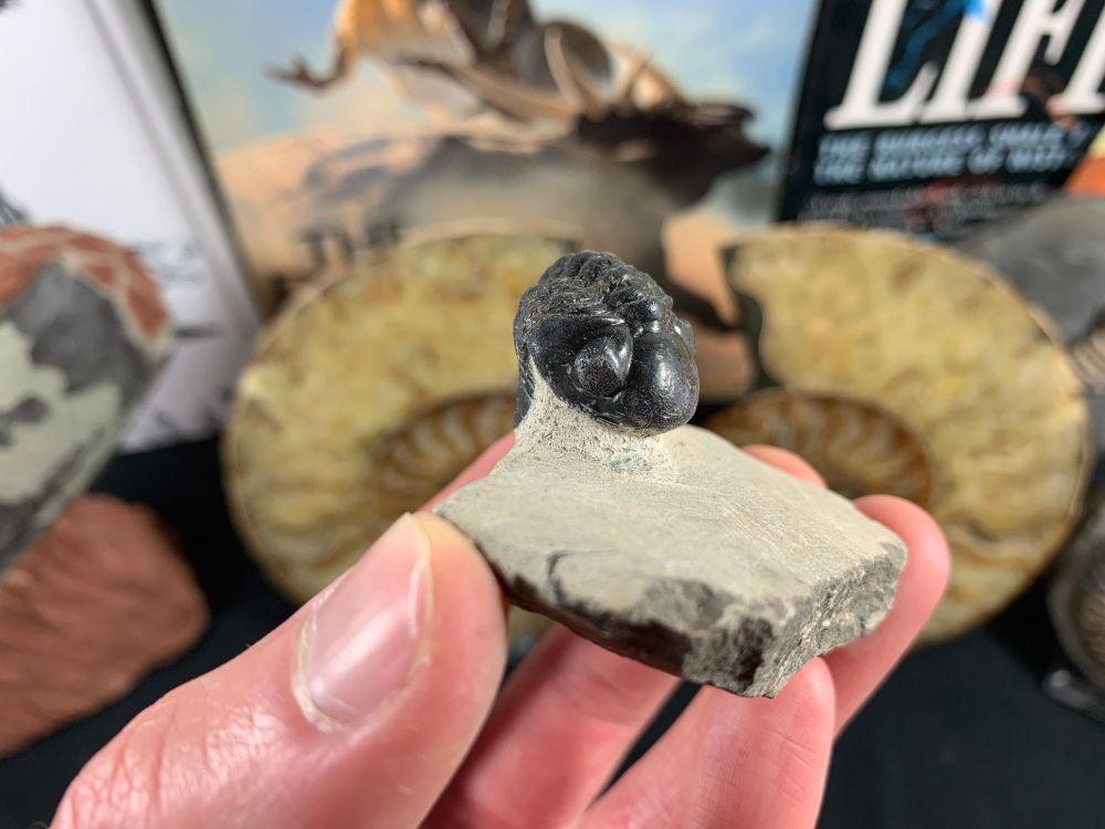 Reedops Trilobite #22
