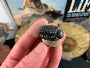 Reedops Trilobite #26