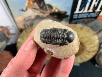 Reedops Trilobite #27