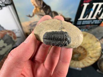Reedops Trilobite #30