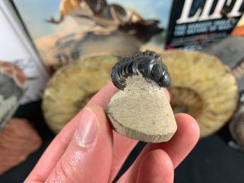Reedops Trilobite #35