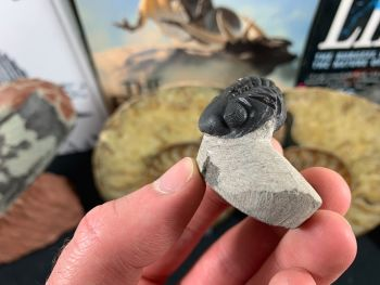 Reedops Trilobite #36