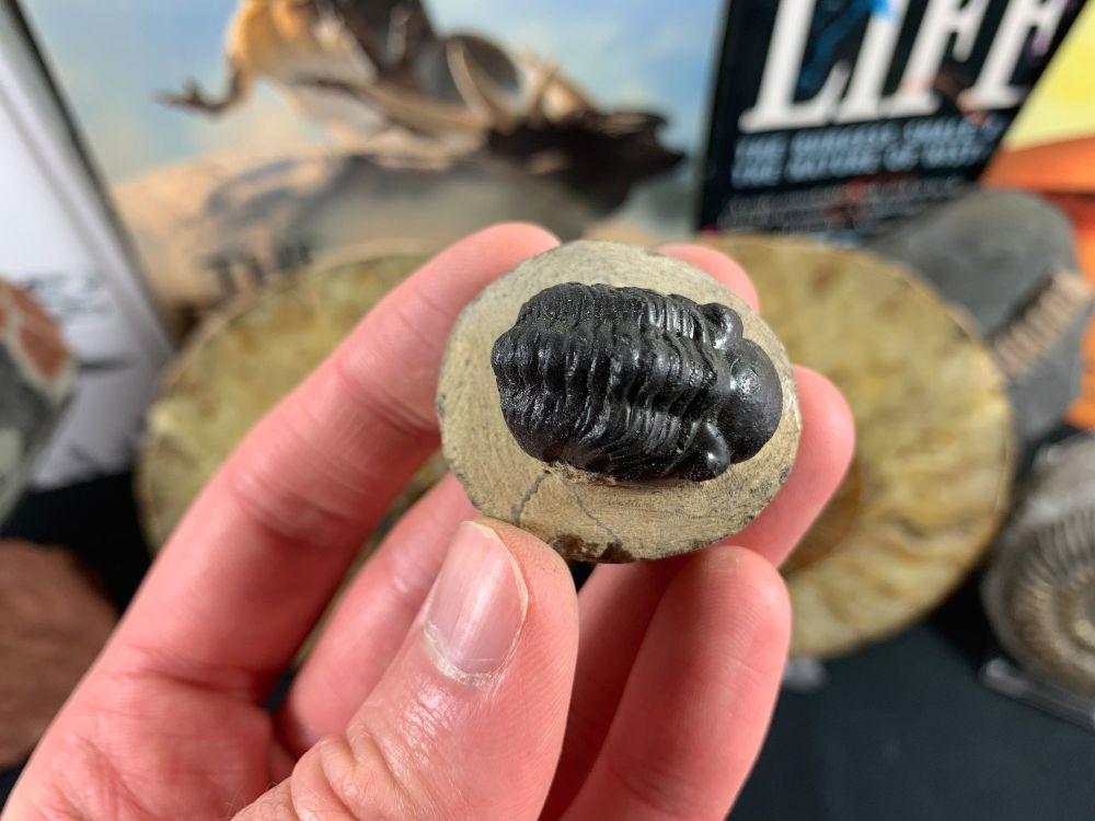 Reedops Trilobite #38