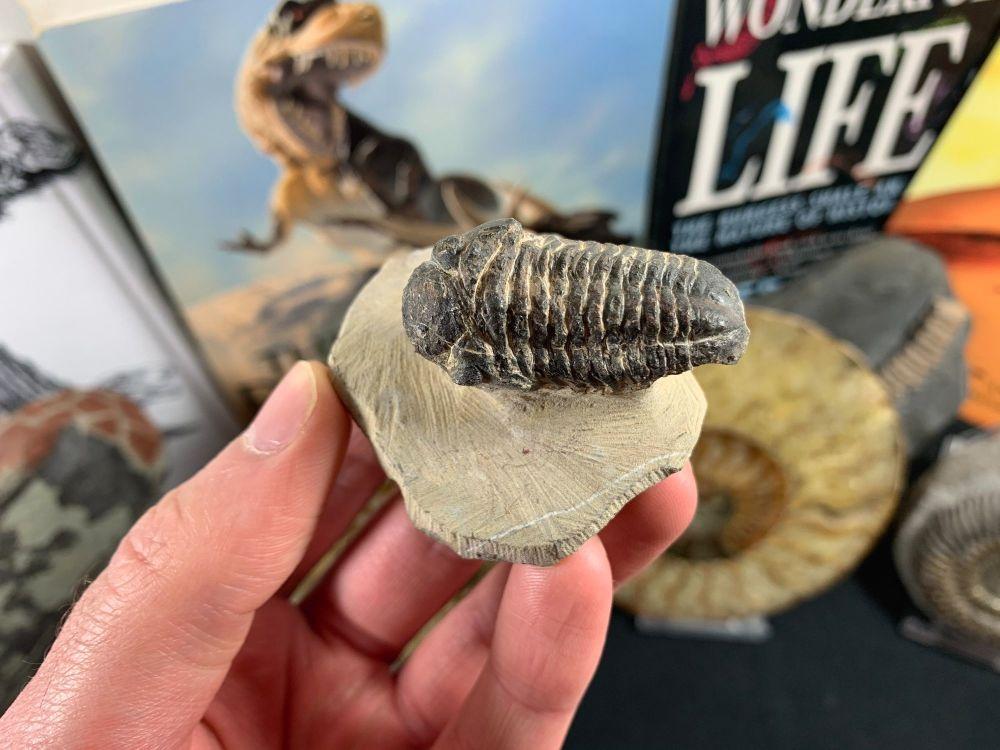 Reedops Trilobite #46