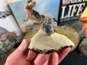 Reedops Trilobite #48