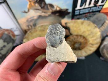 Reedops Trilobite #53