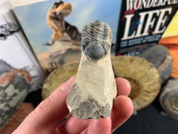 Reedops Trilobite #54