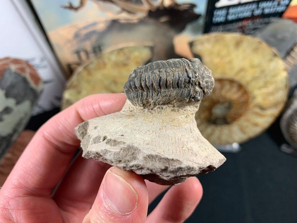 Reedops Trilobite #55