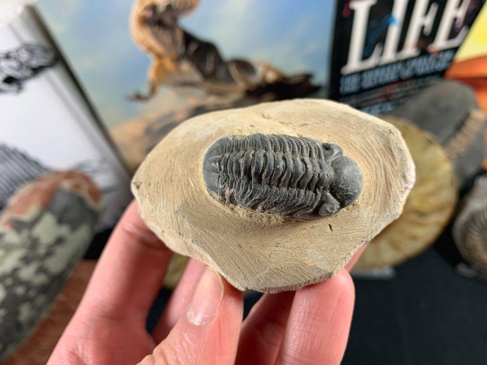 Reedops Trilobite #56