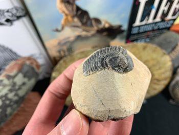 Reedops Trilobite #57