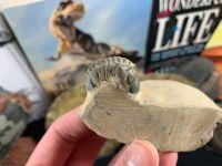 Reedops Trilobite #62