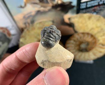 Crotalocephalus Trilobite #07