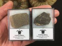 Turtle Shell, Hell Creek