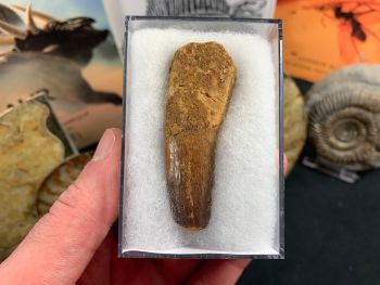 Spinosaurus Tooth - 2.44 inch #SP21