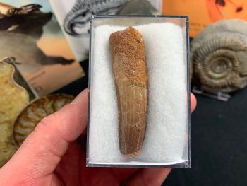 Spinosaurus Tooth - 2.69 inch #SP22