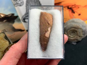 Spinosaurus Tooth - 2.38 inch #SP23
