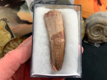 Spinosaurus Tooth - 2.63 inch #SP28