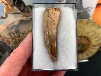 Spinosaurus Tooth - 2.63 inch #SP29