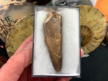 Spinosaurus Tooth - 2.5 inch #SP31