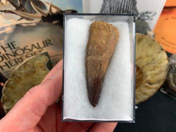 Spinosaurus Tooth - 2.5 inch #SP33