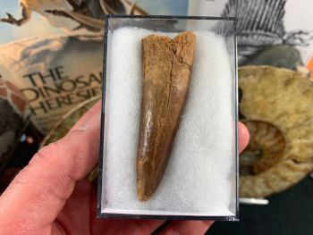 Spinosaurus Tooth - 2.75 inch #SP34