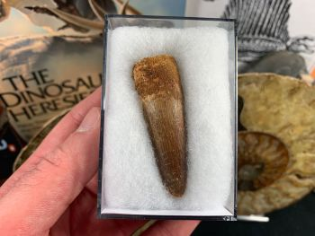 Spinosaurus Tooth - 2.25 inch #SP35