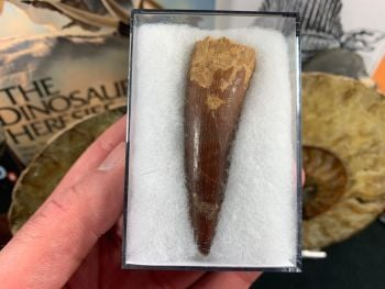 Spinosaurus Tooth - 2.56 inch #SP38