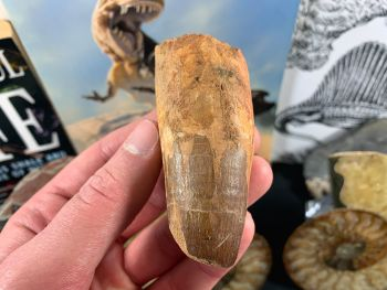 Spinosaurus Tooth - 3.25 inch #SP40