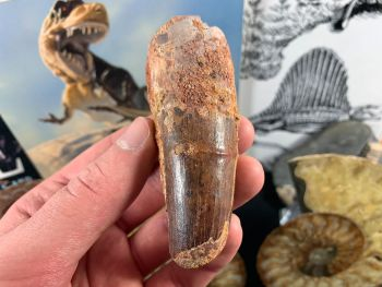 Spinosaurus Tooth - 3.44 inch #SP42