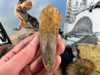 Spinosaurus Tooth - 3.69 inch #SP43